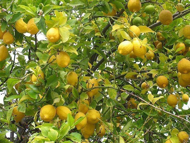 limon2