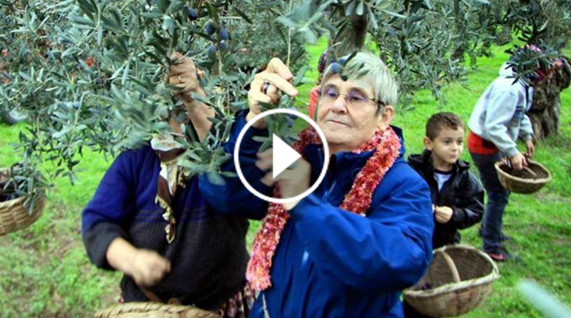 Canan Karatay Gemlik'te zeytin topladı