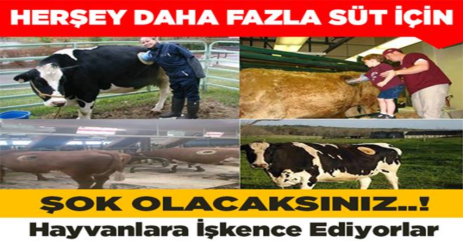 Daha çok süt için hayvanlara işkence ediyorlar