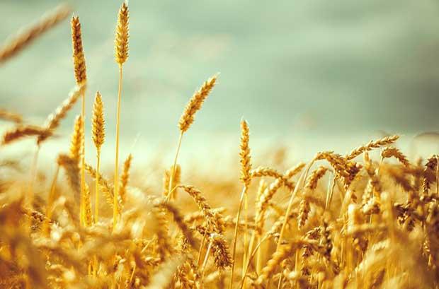 Buğday-Yağının-Faydaları-Nelerdir-1
