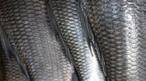 Balık pulunun faydası nedir