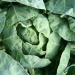 1- Lahana lapa halinde cilde uyguklandığında egzama, sedef, döküntü ve böcek ısırıklarını giderebilir ve unsurların neden olduğu hasarı azaltır. Bir blanderde lahanayı öğütmeniz ve elde ettiğiniz lapayı 15 dakika boyunca cildin hasar gören kısmına uygulamanız yeterlidir.