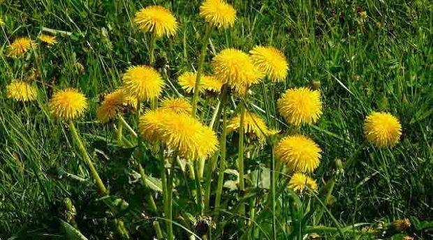 1-Karahindiba: Bu, yağ yakmak için en etkili bitkilerden biridir. Uzmanlara göre bitkinin inceltici etkisi olan yeri kökleridir. Karahindiba kökünü aktarlarda bulabilirsiniz ve gerçekten işe yaradığını göreceksiniz. Böbrek ve karaciğer için etkili bir arındırıcı olmasının yanında ayrıca idrar sökücü özelliği de vardır. Bu da midenizdeki iltihabı ve yanma hissini azaltır, kan şekerinizi düzenler ve bağışıklık sisteminizi güçlendirir.