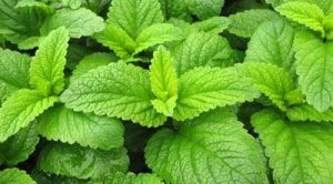 Melisa Çayının Faydaları nelerdir melisa bitkisi neye iyi gelir