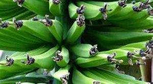 Yeşil muzun kabuğundaki mucize