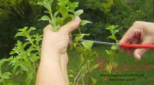 Şeker Otu Nedir? Stevia Bitkisi Faydaları Nelerdir?