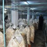 İstiridye mantarını kilogramı 5 liradan sattıklarını anlatan Çoşkun, organik yöntemlerle yaptıkları üretime sertifika almak için de çalışma yürüttüklerini dile getirdi.