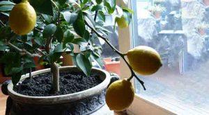 Evde Saksıda Limon Yetiştirmenin Püf Noktaları