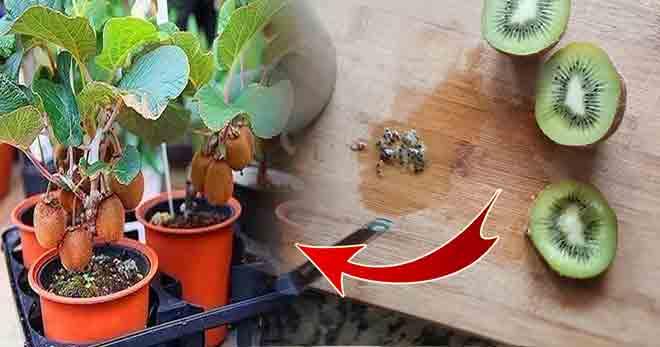 Evde Tohumdan Kivi Nasıl Yetiştirilir